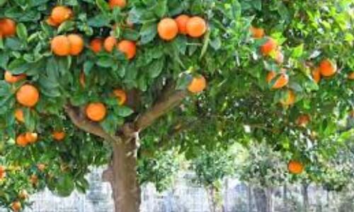 características del naranjo