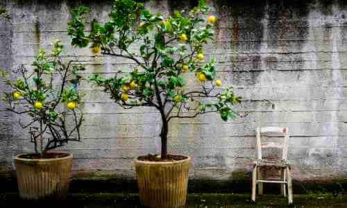 limonero sutil en maceta