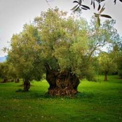 olivo arbol