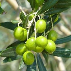 arbol de aceitunas