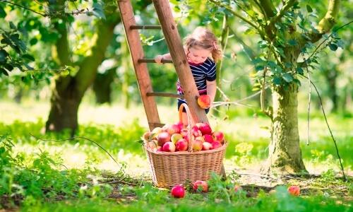características de la manzana
