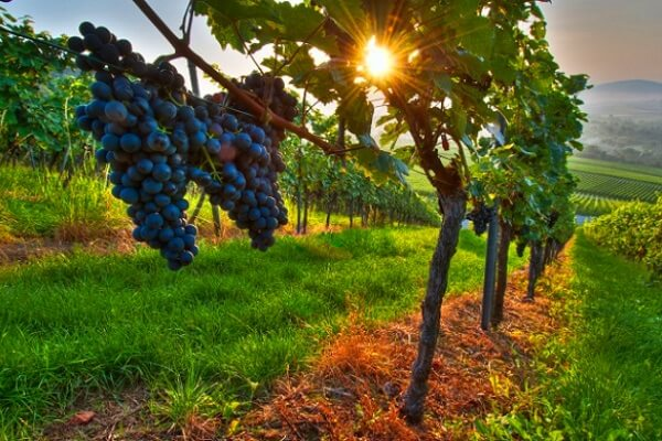 como es la vid la planta de la uva