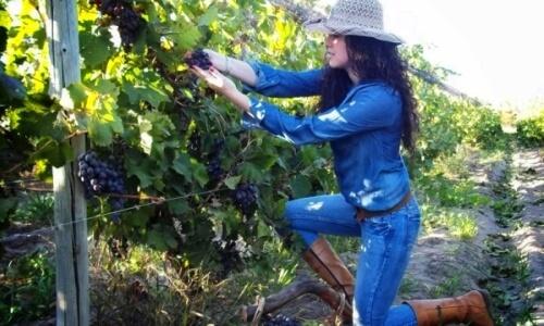 cultivo de la vid en vinedos