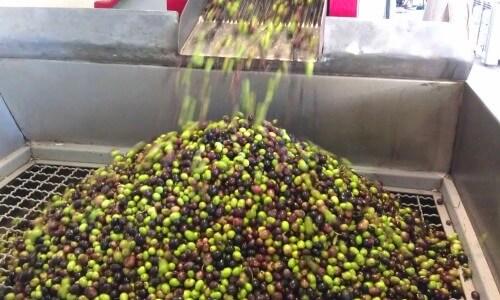 lavado de la aceituna para aceite de oliva