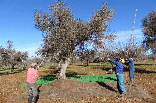 cómo se recolecta la oliva