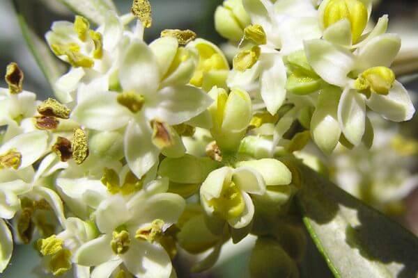 características de la flor del olivo