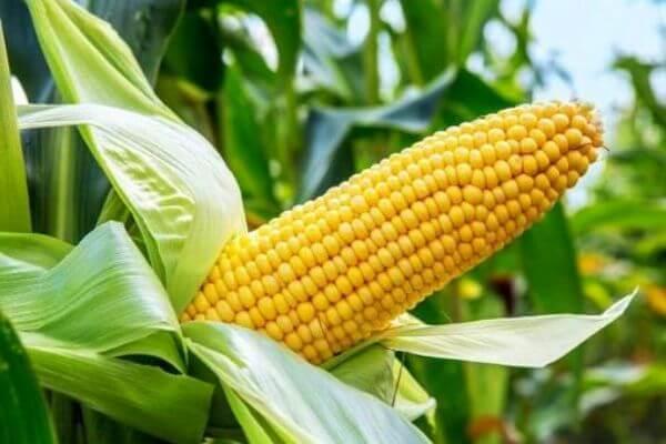 qué es el maíz