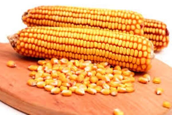 cómo es el grano de maíz