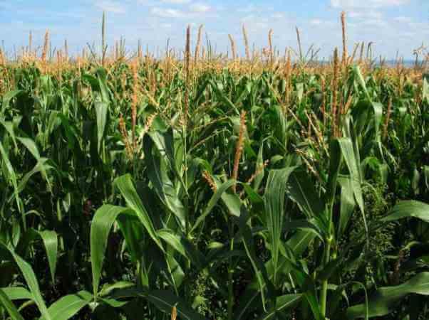 cómo es la planta del maíz
