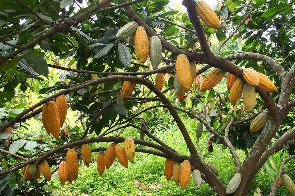 características del árbol del cacao